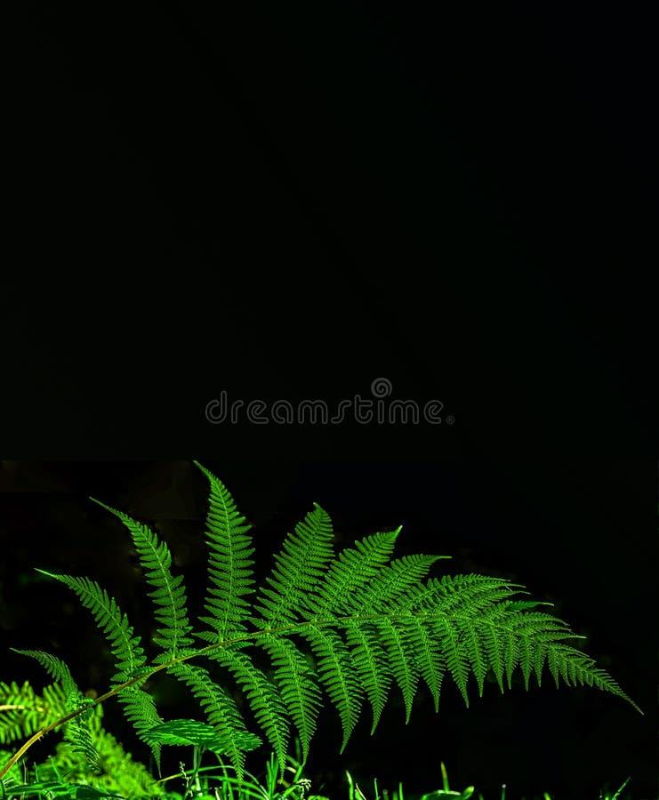 Fern em preto imagem de stock
