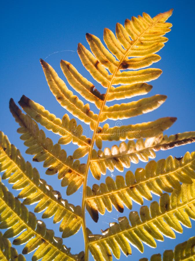 Fern in the fall. The trees are still a couple weeks out before they turn but the ferns are showing some beautiful yellows stock photography