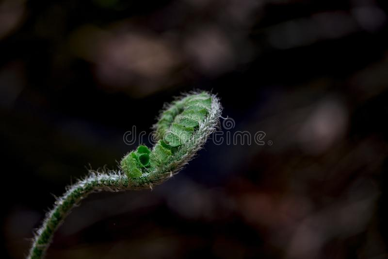 Fern Fiddlehead stock foto