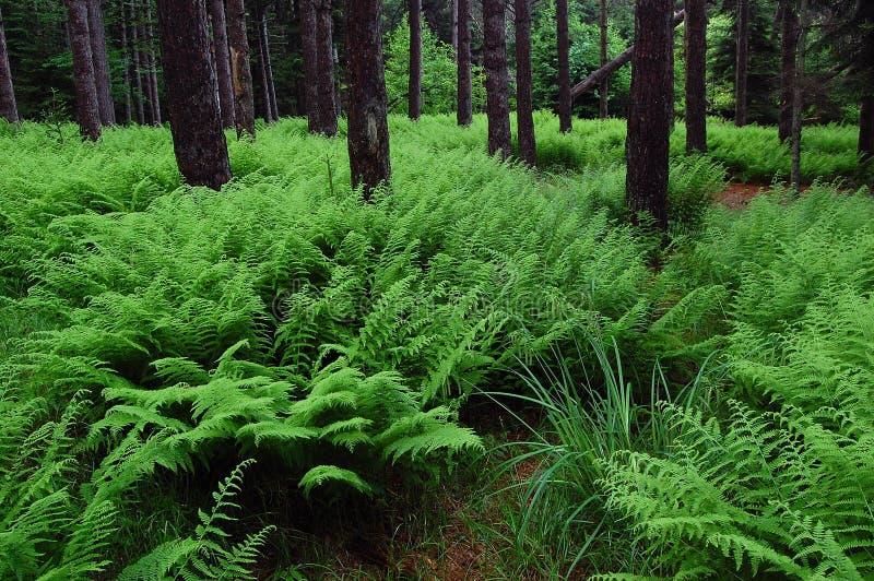 Fern Forest chez Dolly Sods Wilderness image libre de droits