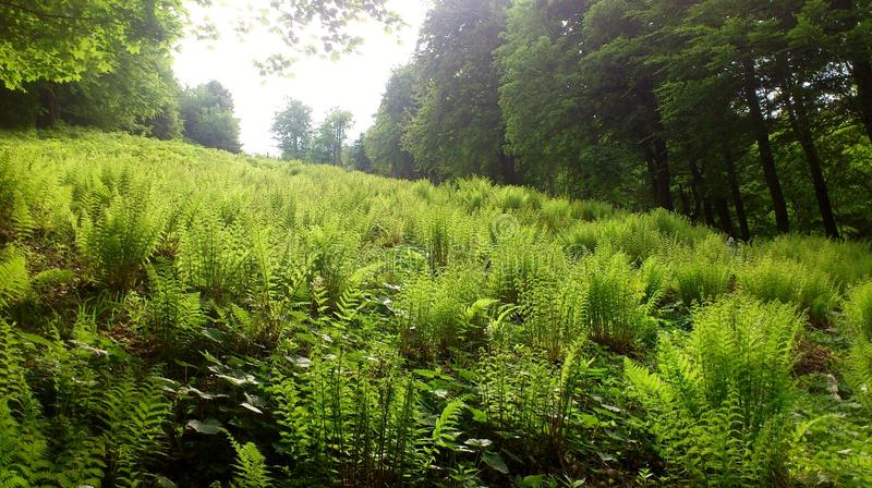 Fern in the forest. A clearing in the forest full of green fern royalty free stock photography