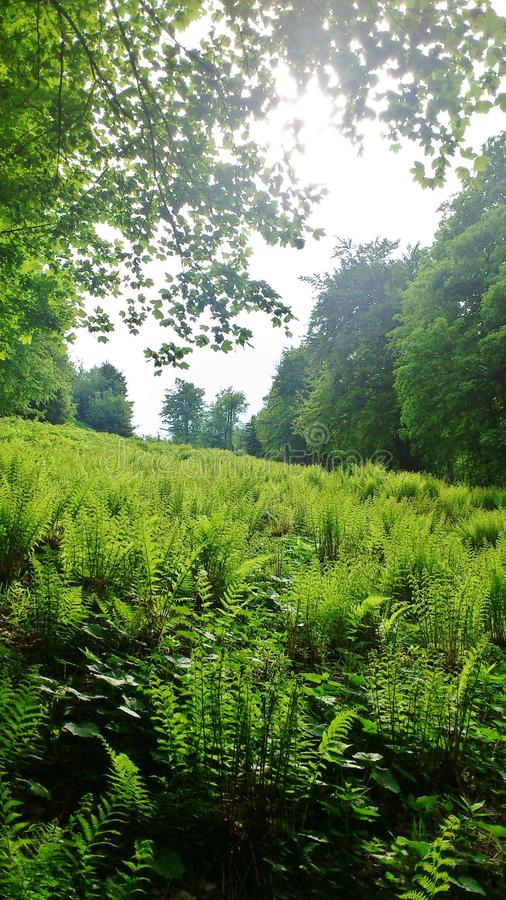 Fern in the forest. A clearing in the forest full of green fern royalty free stock image