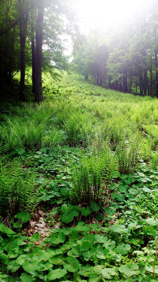 Fern in the forest. A clearing in the forest full of green fern royalty free stock photo