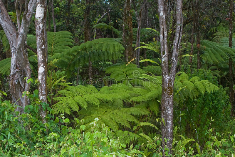Download Fern Forest Mauna Kea Hawaii Stock Image - Image: 7258861