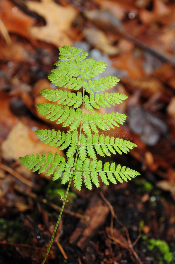 Download Fern frond stock image. Image of pteridophye, nature - 12105521