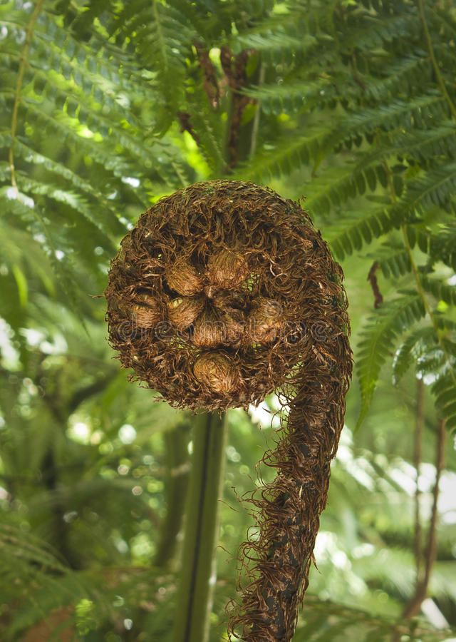 Fern frond. Growing on a punga tree in New Zealand stock photo