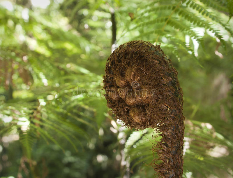 Fern frond. Growing on a punga tree in New Zealand stock photos