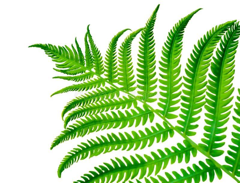 Fern Frond verde tropical fotos de archivo libres de regalías