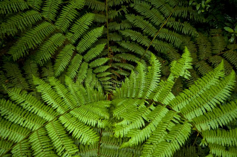 Fern fronds as seen from above in Monteverde Cloud Forest Reserve. The Monteverde Cloud Forest Reserve was established in 1972 and initially covered some 810 royalty free stock images