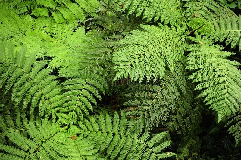 Fern fronds seemingly swirl when seen from above in Monteverde Cloud Forest Reserv in Costa Rica. The Monteverde Cloud Forest Reserve was established in 1972 royalty free stock photos