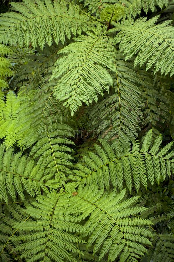 Fern fronds seemingly swirl when seen from above in Monteverde Cloud Forest Reserve in Costa Rica. The Monteverde Cloud Forest Reserve was established in 1972 royalty free stock images