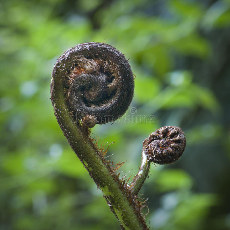 Fern fronds. Growing on a punga tree in New Zealand stock photos