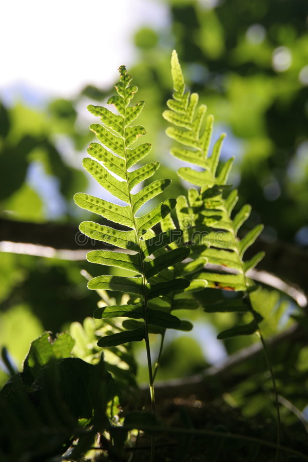 Fern fronds in sunlight stock images