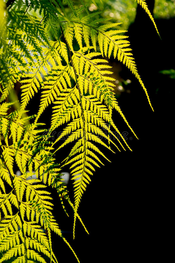 Fern in the garden backlit by the sunligth royalty free stock photography
