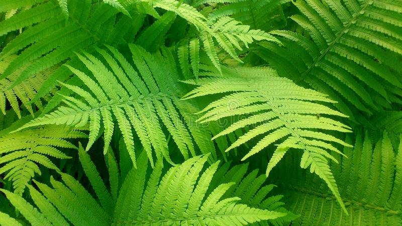 Fern. Green leaves of ferns or brakes in the garden stock photo