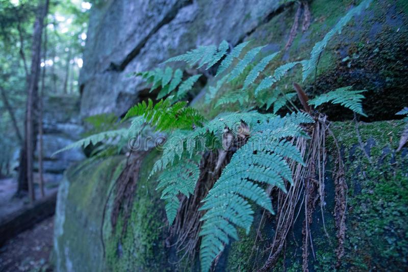 Fern growing from mossy sand stone stock image
