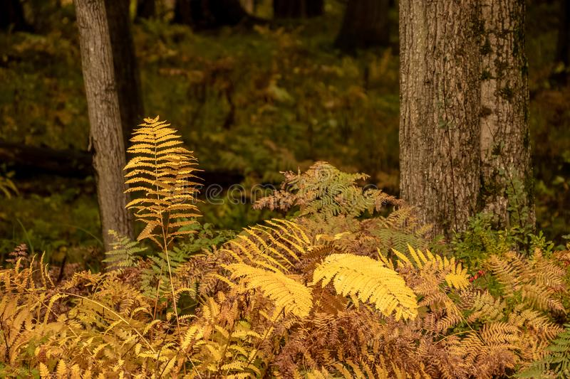 Fern grown in north woods forest during autumn. Colorful fern grown in north woods forest during autumn in Wisconsin royalty free stock image