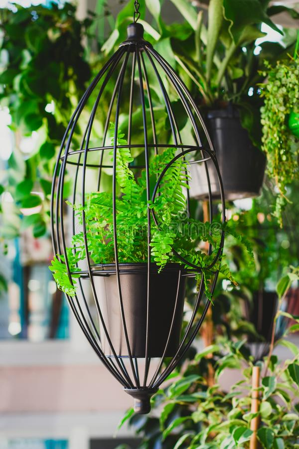 Fern in hanging planters stock images
