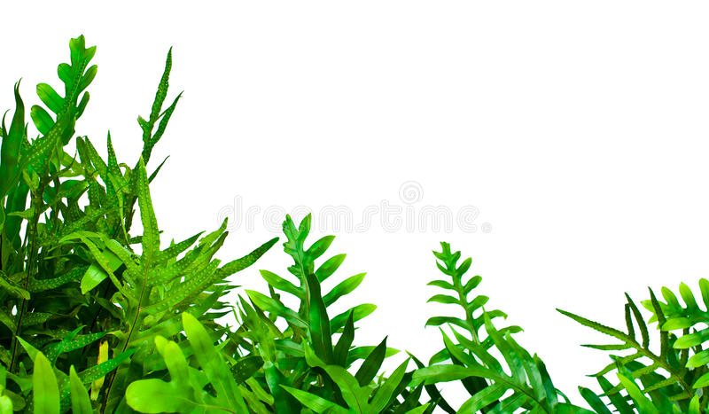 Fern isolado no fundo branco fotografia de stock