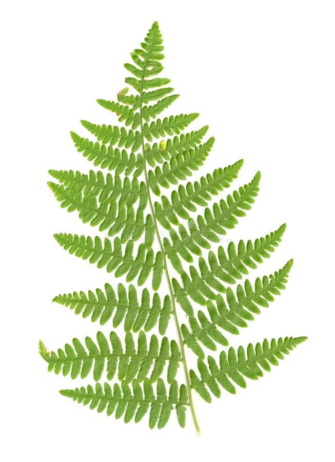 fern isolerad leaf royaltyfri fotografi