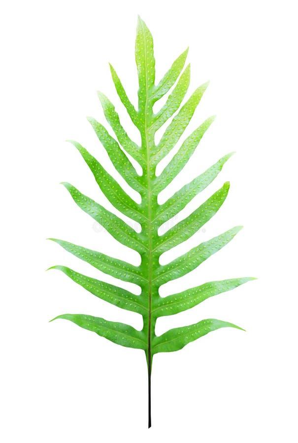fern isolerad leaf fotografering för bildbyråer