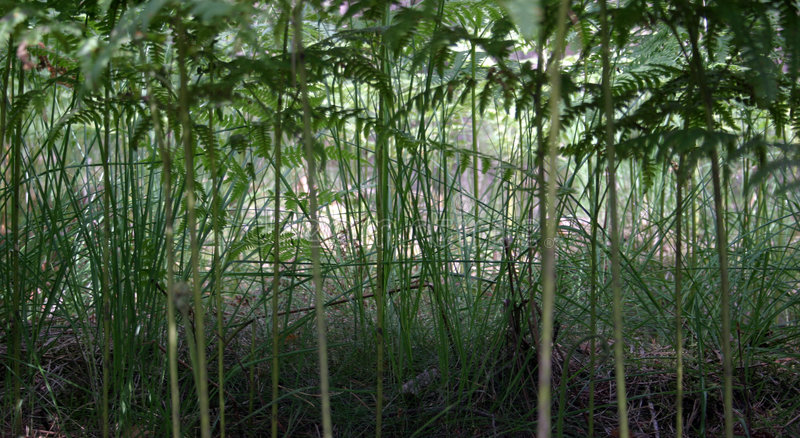 Fern jungle. Dark green fern thicket looking like tropical forest stock photo