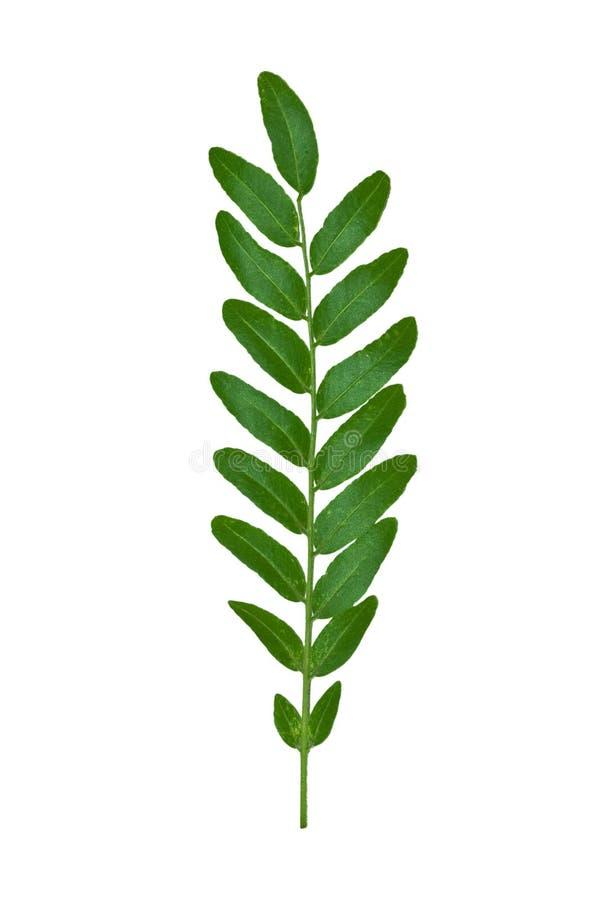 Fern Leaf 1. Isolated macro green tree leaf stock images
