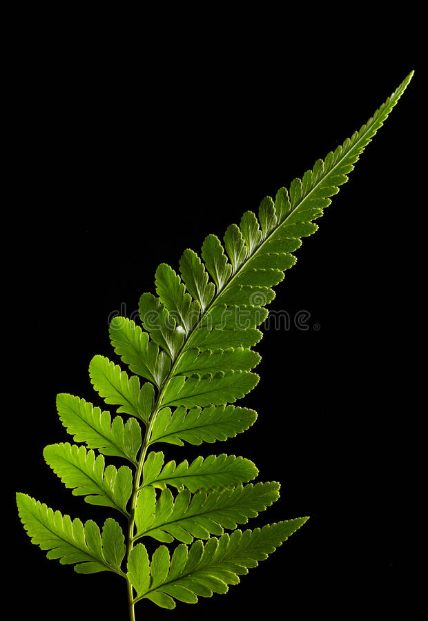 Fern leaf. With black background