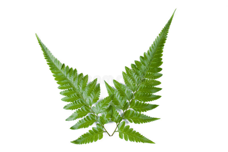 Fern leaf. On the white royalty free stock image