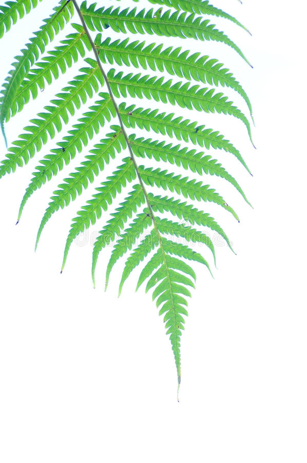 Download Fern Leaf Royalty Free Stock Photos - Image: 14931678