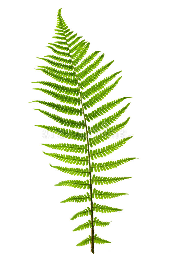 Free Fern Leaf Royalty Free Stock Photo - 20167895