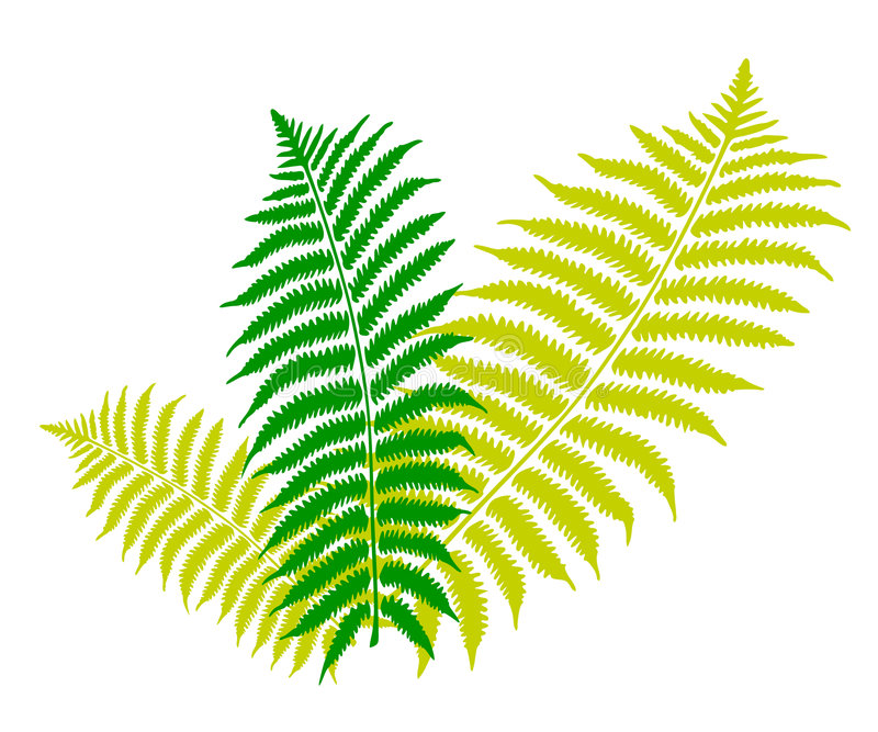 Fern leaf. An image showing three green and white color fern leaves on a white background stock illustration