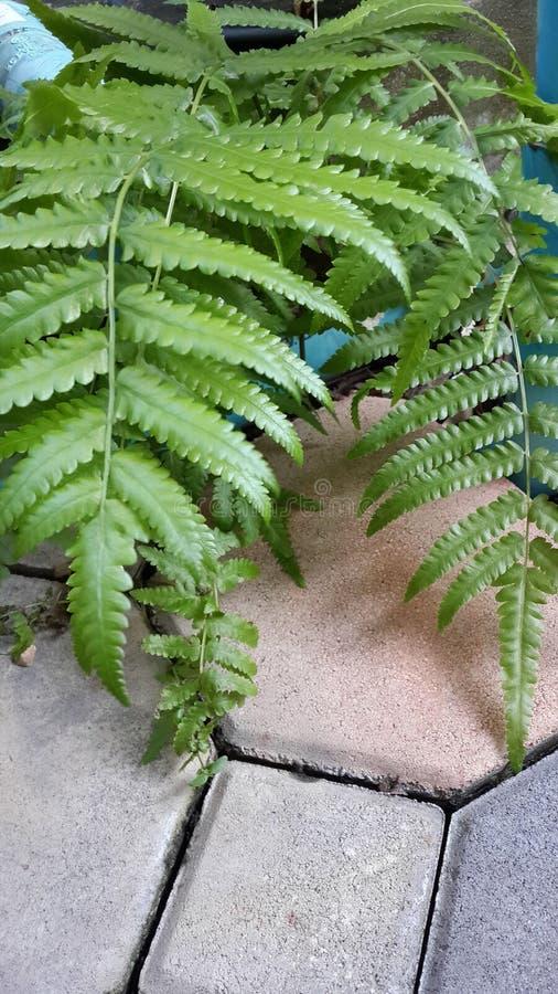 Fern Leaf image libre de droits