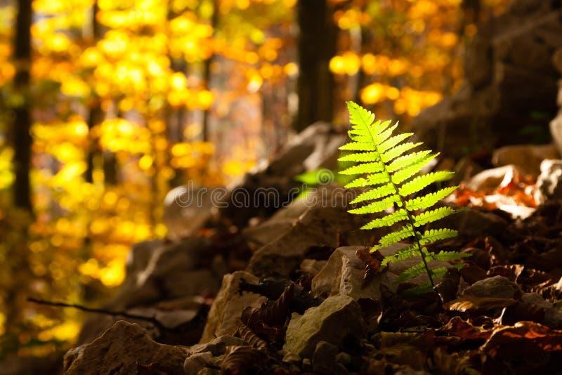Fern leaf close up, autumn background. Autumn lansdscape. Fern leaf close up, autumn background. Beauty in nature. Autumn lansdscape royalty free stock image