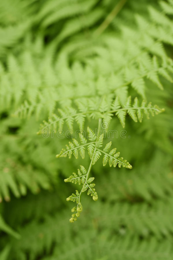 Fern leaf. Fern leaves foliage. In the forest royalty free stock images
