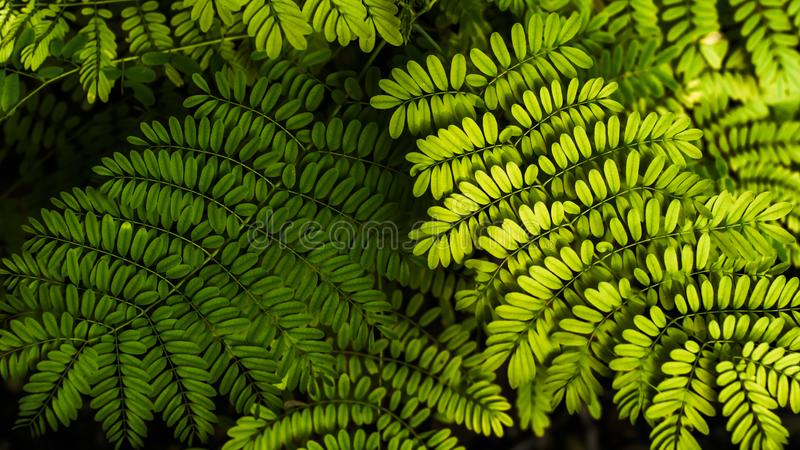 Fern leaf in the forest. Green fern leaves on dark backgound of shadow forest.  royalty free stock images