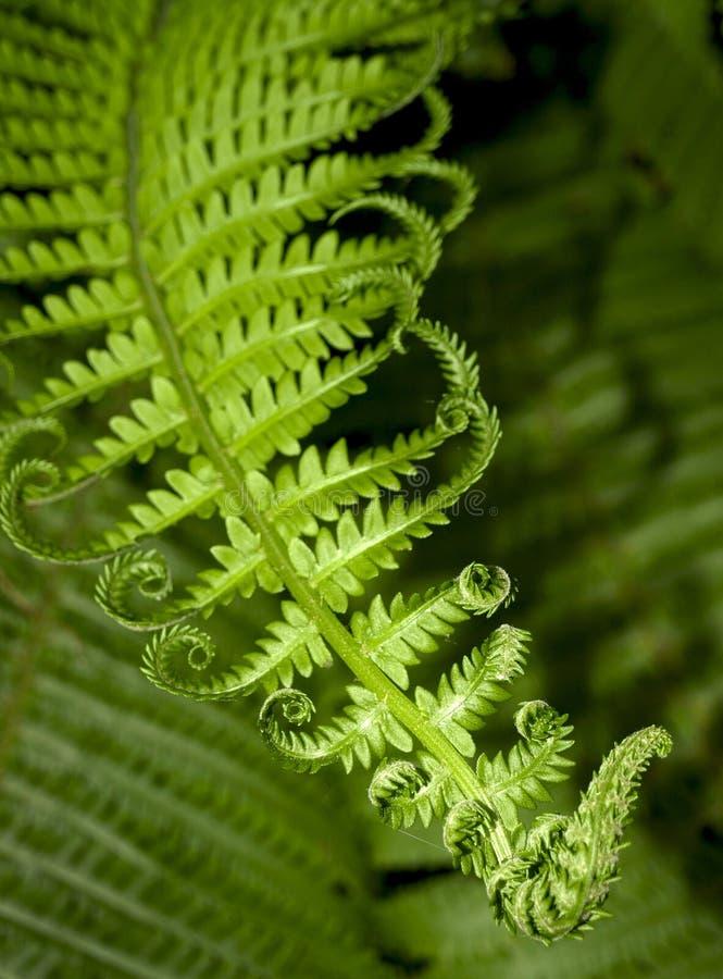 Fern leaf. Green fern branch with twirled leaves