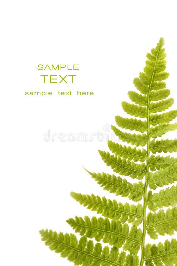 Fern leaf isolated on a white stock image