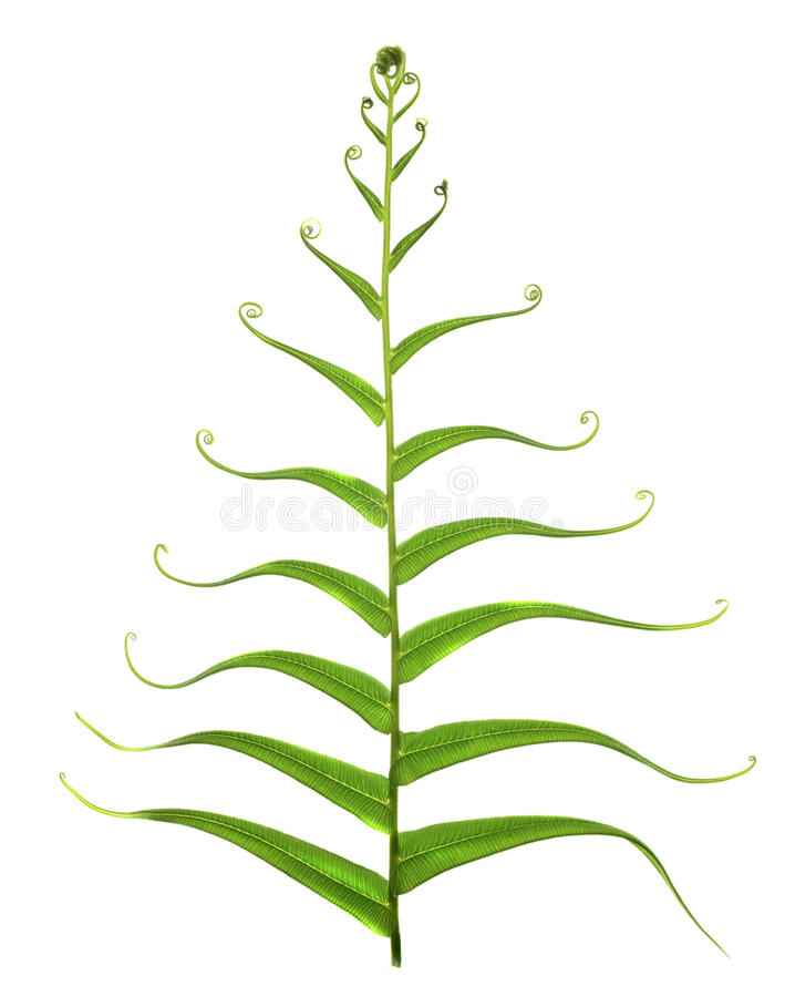 Download Fern leaf stock photo. Image of curly, beauty, abstract - 38833984