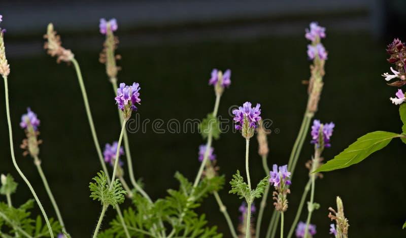 Fern leaf lavender plant stock photos