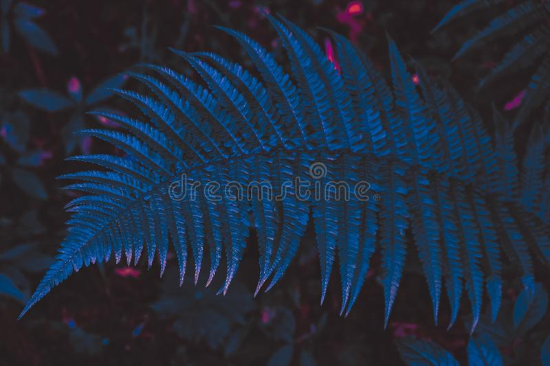 Fern leaf in neon. Large beautiful fern leaf lit in neon on a dark background royalty free stock photos