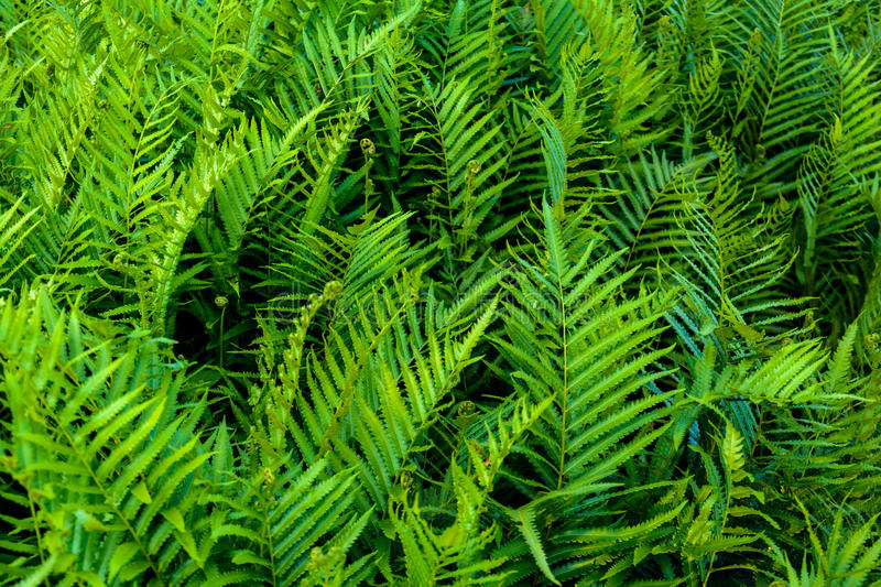 Fern leaf pattern nature. And background royalty free stock images