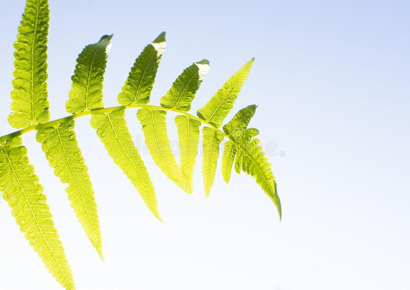 Fern leaf with a water drop humidity in the morning light with a blue sky background royalty free stock photo