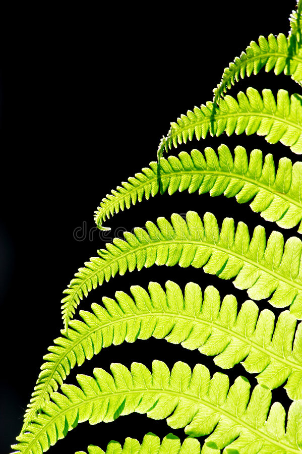Fern leave. Over black stock photography