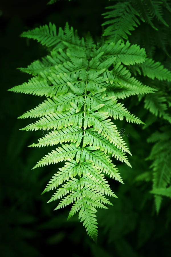 Download Fern leaves stock image. Image of green, jungle, mysterious - 11654221