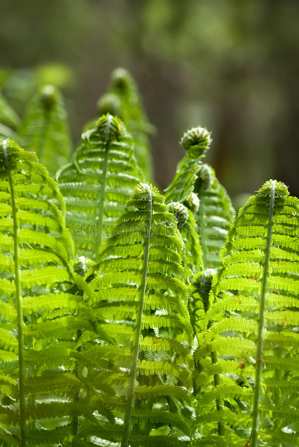 Fern leaves. The fern leaves on the sunlight glares background stock image