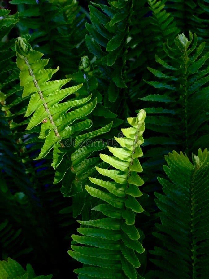 Fern Leaves fotos de stock