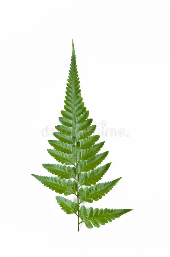Fern Leaves. On a white background royalty free illustration