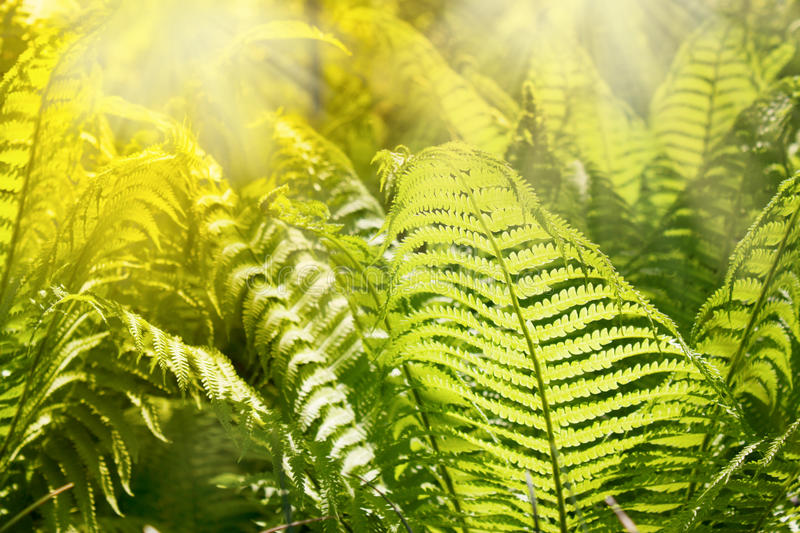 Download Fern leaves stock photo. Image of leaves, light, beautiful - 19286838