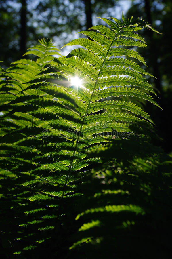 Fern leaves. And sun in the forest royalty free stock images